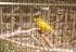 Cuidado de crias de canários