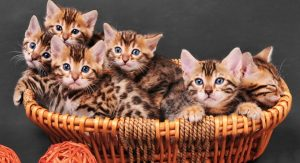 alimentaçao-gato-leopardo.