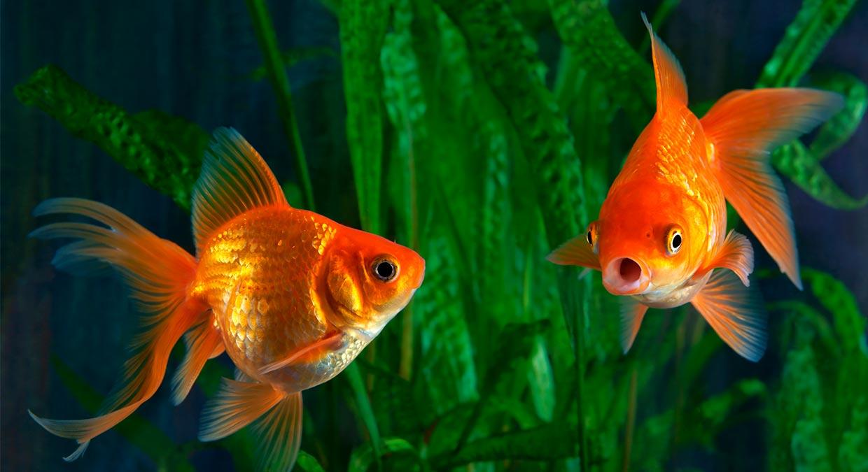 aquario-goldfish