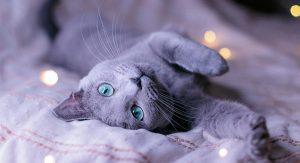 Brinquedos para um gato azul russo?