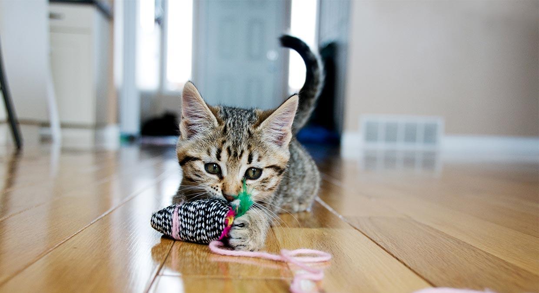 brinquedos-gato-europeu-comun