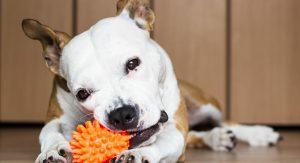 os-melhores-brinquedos-pitbull