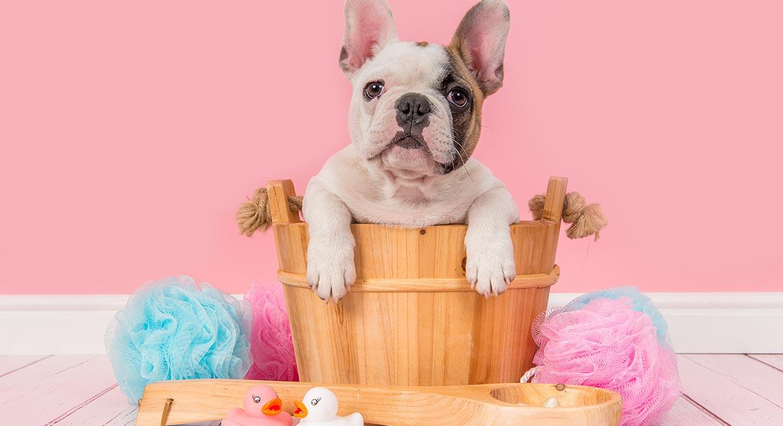 como-cuidar-da-higiene-do-seu-bulldog?-quantas-vezes-deve-dar-lhe-banho?