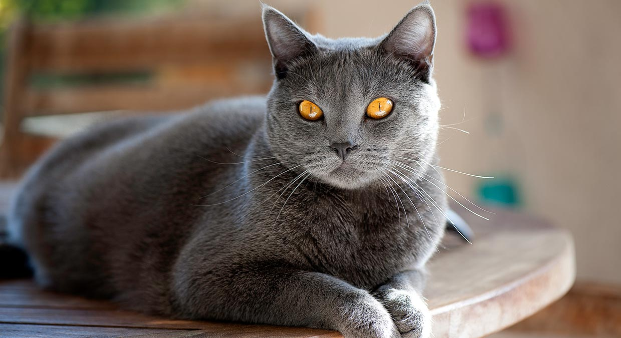 carater-chartreux