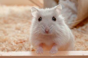 cuidados-e-saude-do-hamster-como-cuida-lo