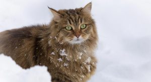 cuidados-e-saude-gato-siberiano