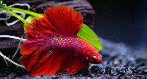 uidar-de-um-peixe-betta
