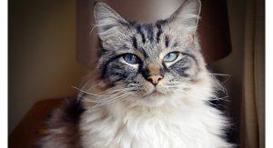 cuidar-gato-ragdoll