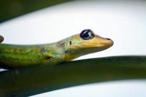 alimentação-gecko