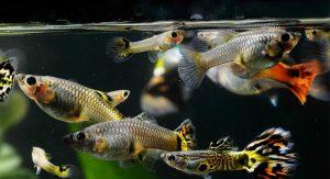 guppy-aquario