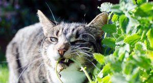 melhores-ervas-para-gatos