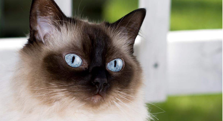 o-que-come-o-gato-himalaio-qual-e-a-sua-melhor-dieta