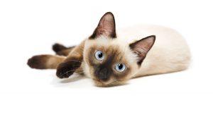 o-que-come-o-gato-siames-e-melhor-racao-seca-ou-comida-humida