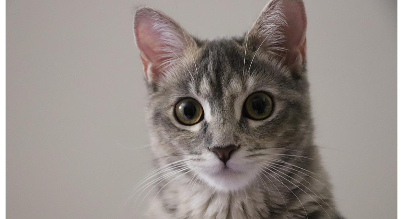 origem-do-gato-romano