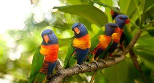 papagaiao-arcoiris