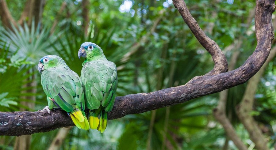 papagaios-monogamicos