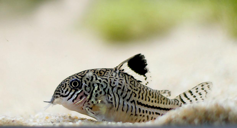 peixes-corydoras-aquario