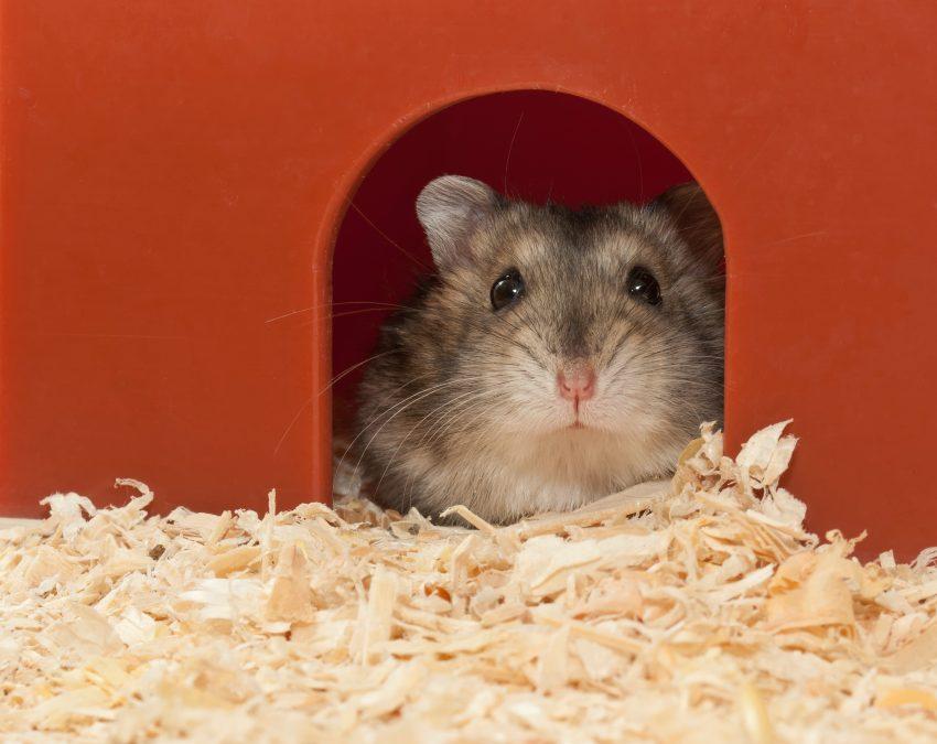 quanto-tempo-vive-um-hamster