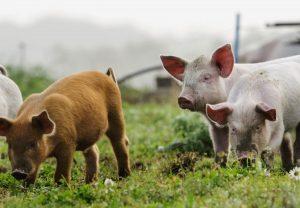 quanto-pesa-um-porco