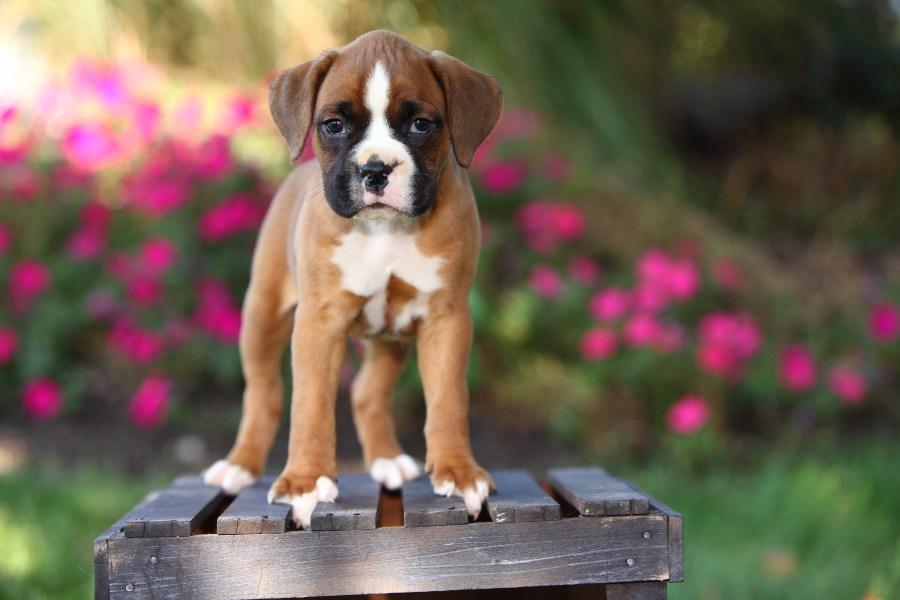 boxer-cachorrinho