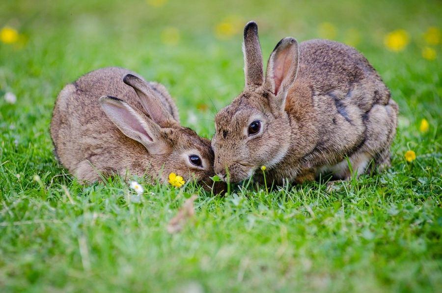 cuidar-coelho-anao
