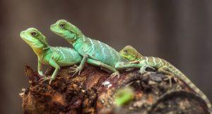 escolher-seu-primeiro-lagarto
