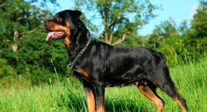 origem-do-rottweiler