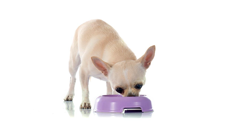 que-comen-e-qual-e-alimentacao-ideal-chihuahua