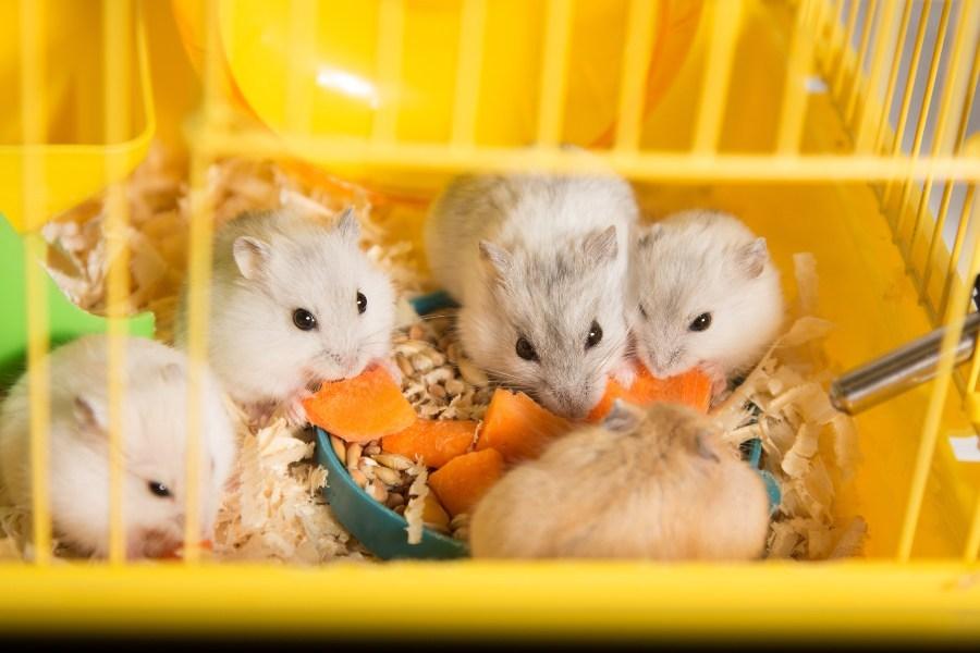 Como saber se um hamster é macho ou fêmea?