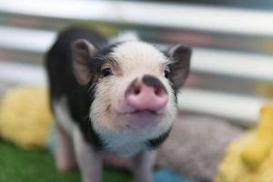 Mini pig como animal de estimação
