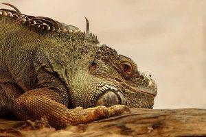 Iguanas_ Importância do tamanho do terrário