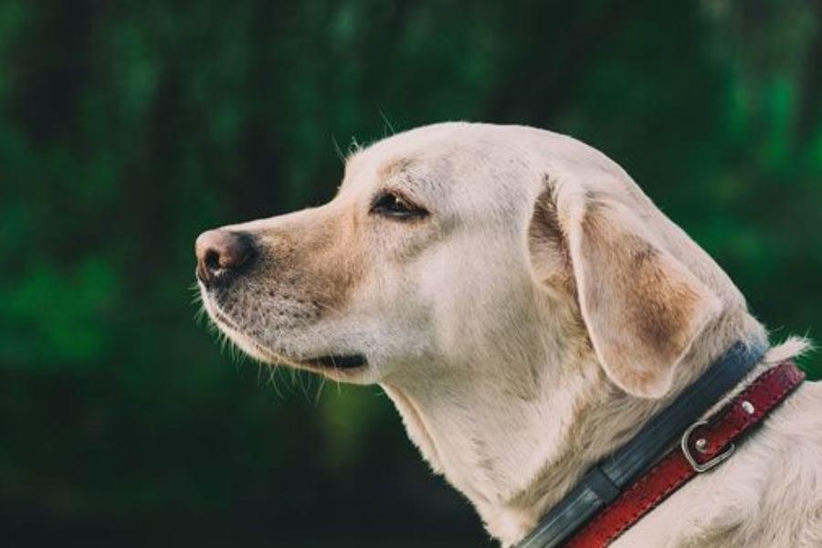 Qual é a melhor ração para o meu Labrador Retriever