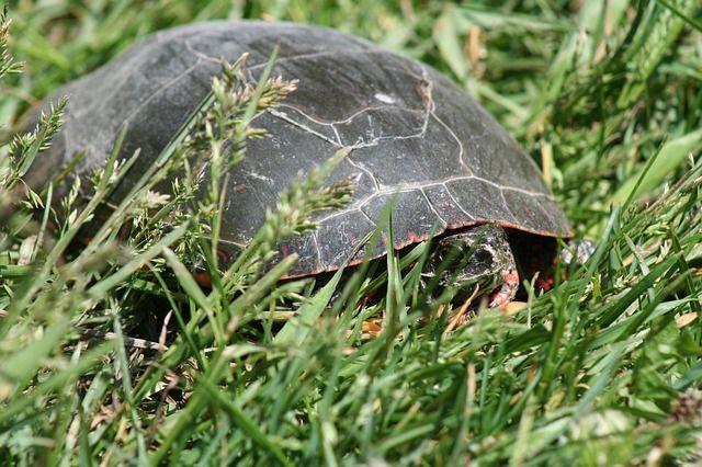 hibernação das tartarugas