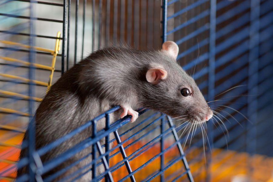Como deve ser a gaiola do meu rato