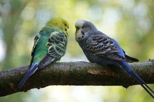 Os periquitos são animais de estimação fantásticos