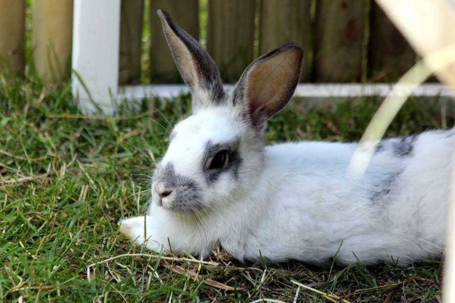 Como ensinar ao teu coelho a usar a sua bandeja sanitária