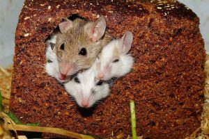 Como-cuidar-do-teu-rato
