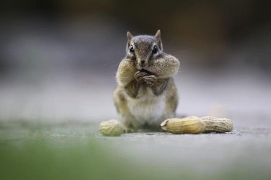 Cuidados com o esquilo listrado