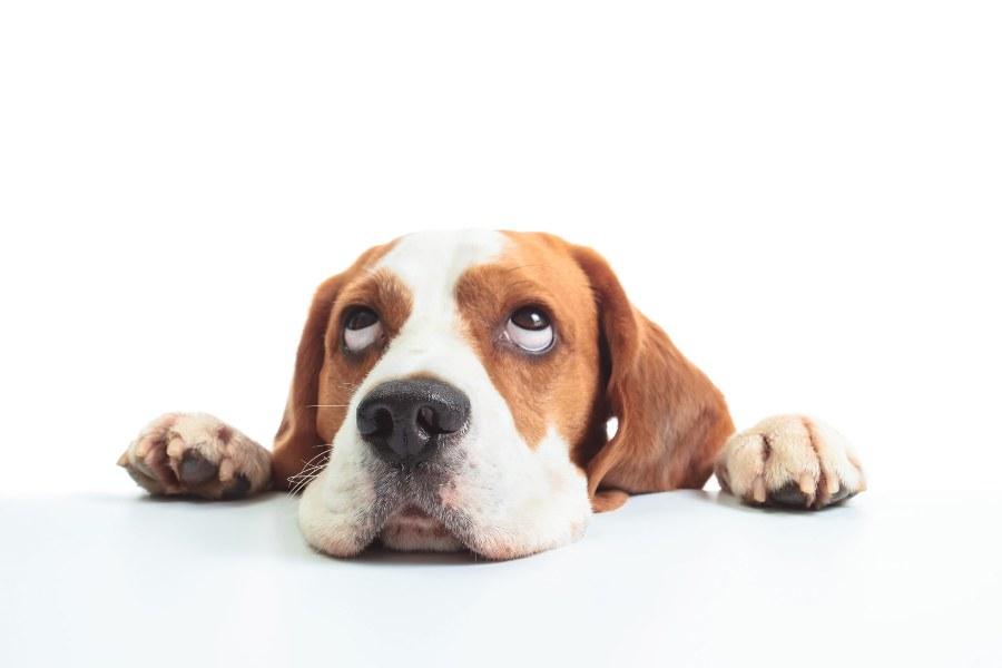 A-diarreia-canina