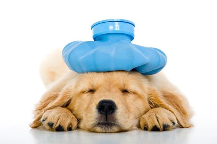 Doença de Lyme em cães