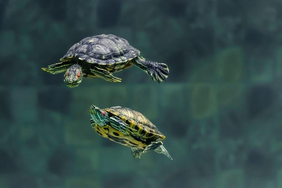 Como cuidar de uma tartaruga de água?