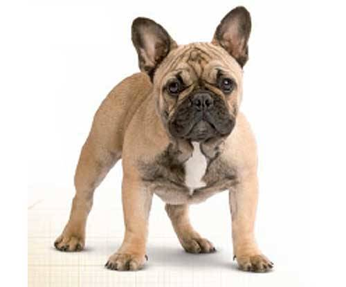 Royal Canin Bulldog Frances Adult