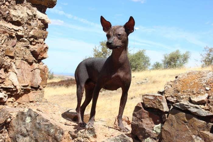Cão sem pelo do Perú