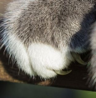 Por que é que os gatos afiam as unhas das patas dianteiras?