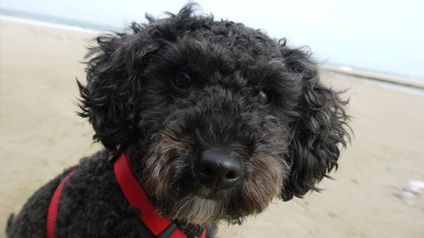 poodle caniche